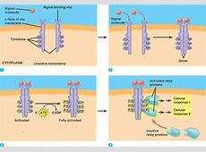Quia - 9AP Chapter 11 - Cell Communication (detailed) G Protein Coupled Receptors Pathway