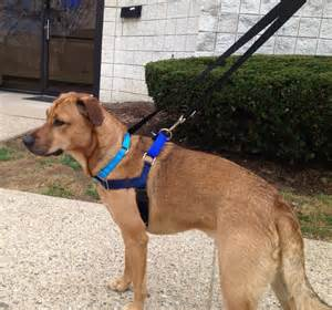 Comfort Inn Austin Who S Walking Who Choosing The Right Harness Or Head