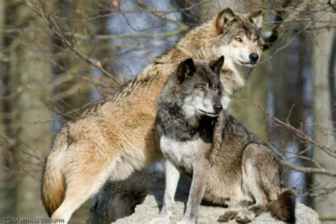Level 6 Timberwolf Grey By Omega by Eastern Timber Wolves Wolves