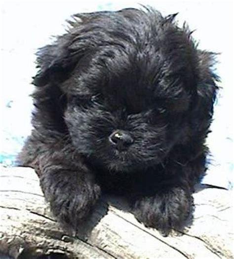 peekapoo shih tzu mix i want a black peekapoo puppy pekepoos animal
