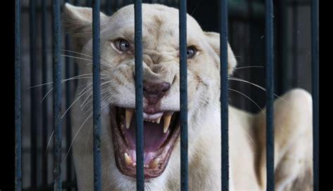 imagenes de leones tristes fotos tristes de animales archives fotos bonitas