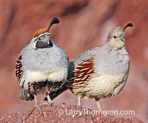 the wild photographer gambel s quail male and female