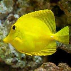 yellow tang zebrasoma flavescens for sale online petsolutions