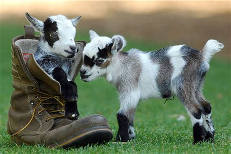 Smallest Goat In The World