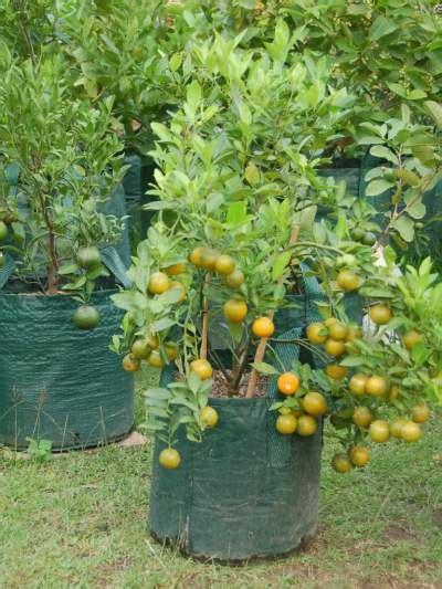 Pupuk Bunga Jeruk tanaman jeruk tabulot jualbenihmurah