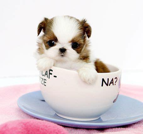 shih tzu ohio oh my goodness teacup shih tzu animals that i want