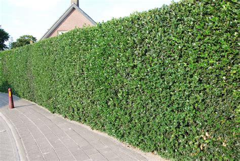 Gartenumrandung Pflanzen by Ilex Aquifolium Gewone Hulst