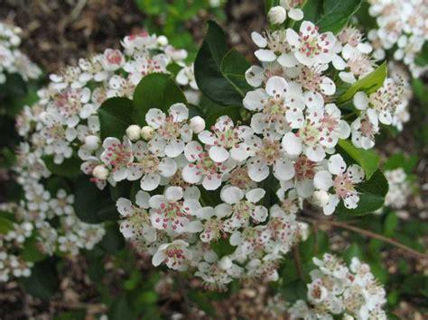 chokeberry blossoms aronia arbutifolia florida native