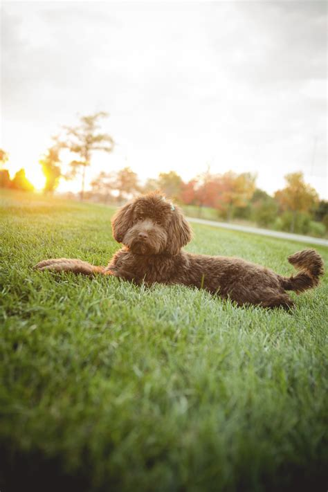 doodlebug photography indiana focus rosie the mini labradoodle daily tagdaily tag