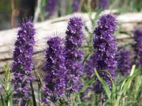 plant with purple flowers alpine ecology blog