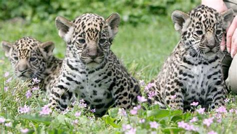 Jaguars Moving To La Your Morning Adorable Jaguar Cubs At The Berlin Zoo L A