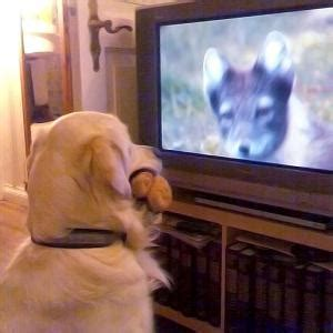 do dogs tv do dogs see what s happening on tv sciencenordic
