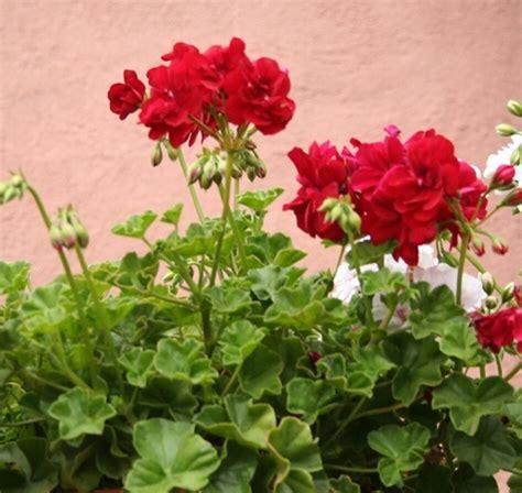 Tanaman Gantung Bunga Pink Pelargonium Berkualitas tanaman geranium merah