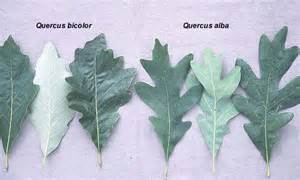 Swamp white oak tree information images amp pictures becuo