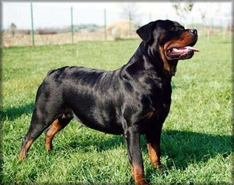 are rottweilers family guard dogs top 10 best guard breeds