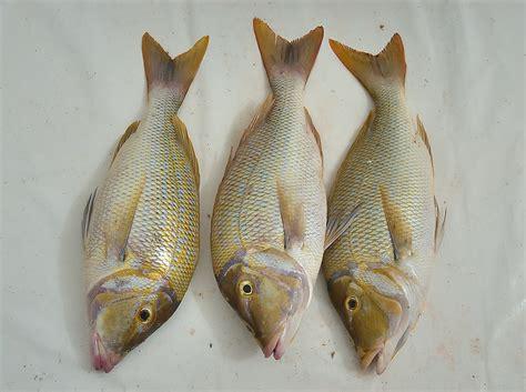 is that a fish photo 835 10 three spangled emperor sheirii lethrinus corniche fresh fish sold doha qatar