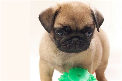 pug puppies for sale in new york puppies for sale in new york photo