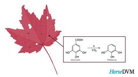 are maple trees poisonous to horses horsedvm toxic plants for horses maple