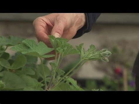 how to take geranium cuttings youtube