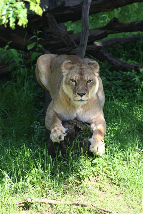 national zoos 23 year old przewalskis horse rolles dead worldnews little rock zoo lioness euthanized after health deteriorates