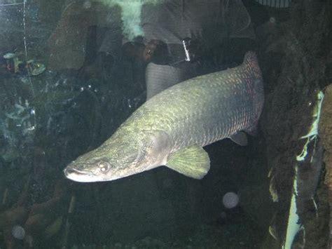 amazon fish huge amazonian fish bing images