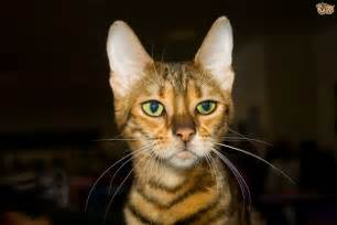 large house cat breeds breeds picture