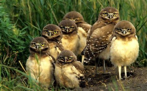owl family 3 animal lovers wallpaper