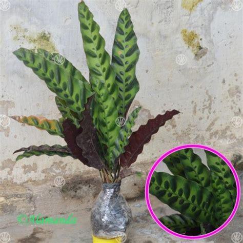 Tanaman Hias Calathea Saputangan jual tanaman calathea lancifolia hp 085608566034