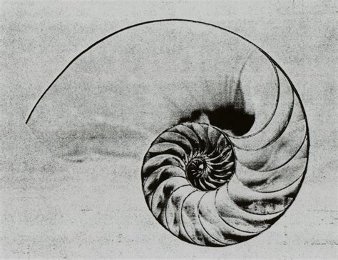 nautilus shell tattoo the golden spiral in nature sapient paradox