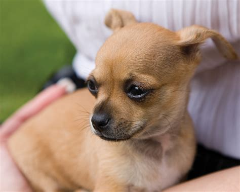 pictures of breeds quality pictures of chihuahua breeds on animal picture society