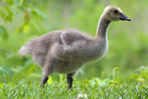 gosling definition baby geese