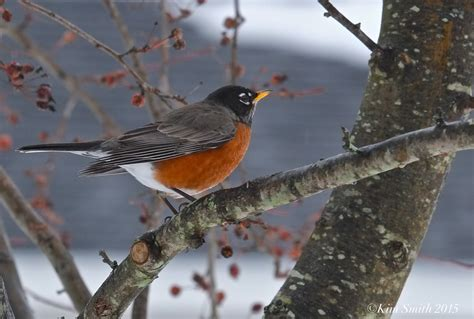 what to feed the robins goodmorninggloucester