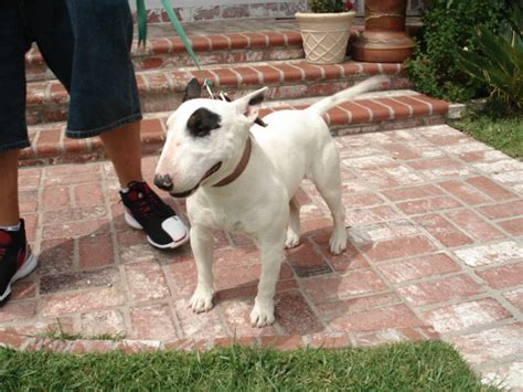 bull terrier puppies for sale in california purebred miniature bull terrier puppies for sale in california