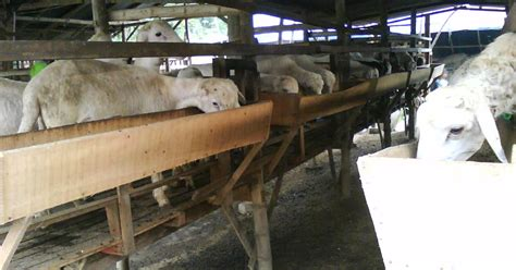 Bibit Kambing Kacang apa itu trik sukses beternak kambing