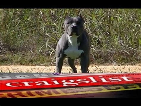 pitbull puppies for sale in chicago free puppies in nc how to stop from barking at everything pitbull puppies for