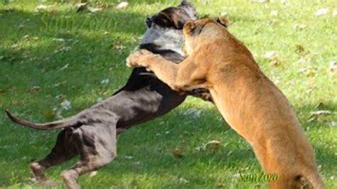 boerboel vs rottweiler boerboel attacks www imgkid the image kid has it