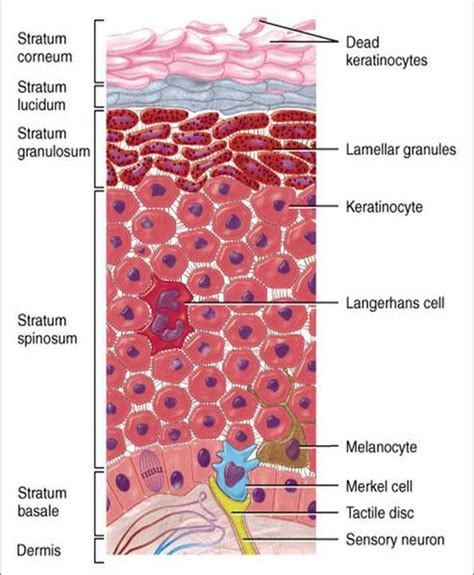 skin cells diagram the integumentary system the human