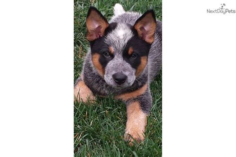 blue heeler puppies for sale in pa blue heeler puppies for sale in pa australian cattle dogs for sale breeds picture