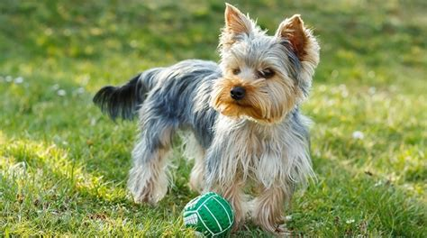 how is a yorkies span the 12 living breeds puppy