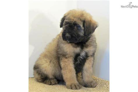 bouvier des flandres puppies for sale bouvier des flandres puppies for sale in ontario images