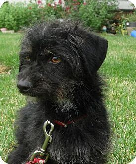 dachshund puppies tacoma wa lotty is an adorable and sweet 2 year wire haired doxie mix possibly with terrier
