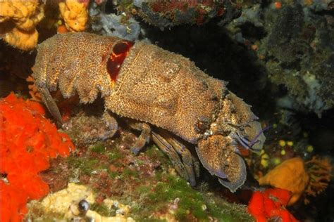 slipper crab crabs of the adriatic sea