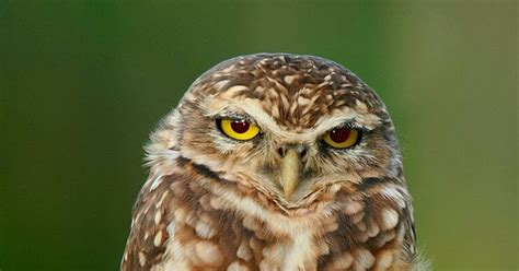 wild birds unlimited the burrowing owl is true to its name