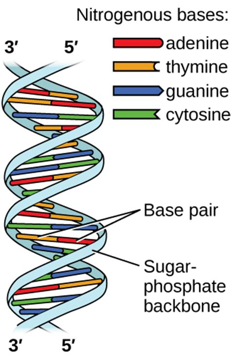 diagram and label a section of dna intermolecular forces chemistry