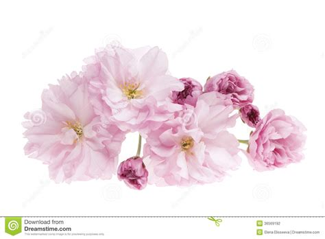 Cherry On White cherry blossoms isolated stock photo image of flower