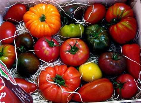 growing tomatoes indoors    expert tips