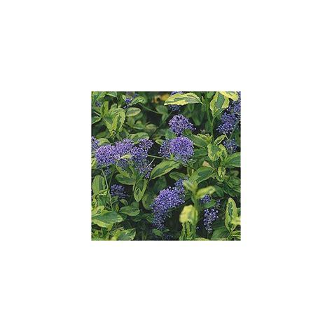 Ceanothe En Pot by C 233 Anothe El Dorado Plantes Et Jardins