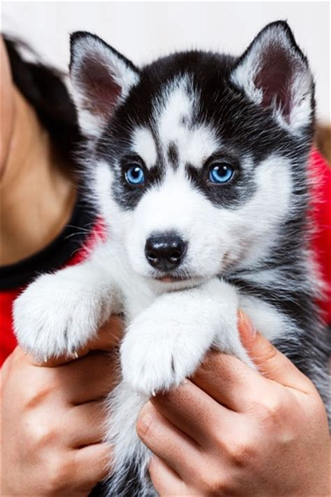 buy husky puppy siberian husky key points when looking at puppies for sale