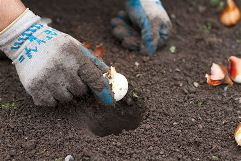 planting spring flowering bulbs garden club