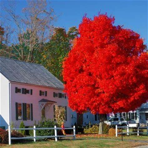 the brightest fell october 0756413311 25 best ideas about red maple tree on maple tree japanese maple trees and japanese